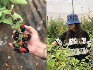קטיף פירות יער בגליל המערבי